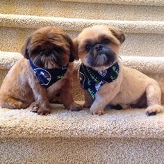 Shih Tzus … Freddie and Jack