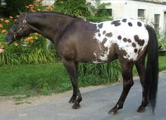 Dutch Warmblood, American Quarter Horse, Appaloosa Horses, Horse World, Horse Pictures, Palomino, Horse Breeds, A 17, Beautiful Horses