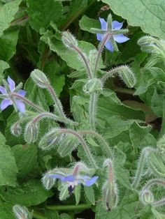 Borage is a hardy annual edible that is known for its beauty. It's a domestic herbal remedy that has been used since ancient times. Some people use borage as a substitute for valerian as it dispels melancholy and induces euphoria. Borage has a beneficial effect on the heart, adrenal glands, kidneys and the entire digestive system. It has been used as a cure for jaundice. This beautiful plant works well as a companion plant as it deters tomato hornworm and Japanese beetles.