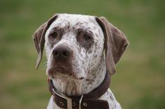 Braque Du Bourbonnais 17 Unique Dog Breeds, Rare Dog Breeds, Popular Dog Breeds, All Dogs, Dogs And Puppies, Braque Du Bourbonnais, Border Collie Mix, Pitbulls, Corgi