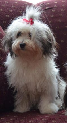 Meet young female havanese, a Petfinder adoptable Havanese Dog | Randolph, NJ | Adorable little girl, a little over a year old, and her friend, a male havanese who is almost 2 ys...