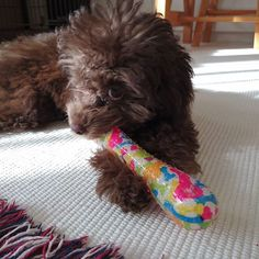 ・ 遊んでる間に顔を拭こうとしたら ・ 気付かれましたಠ_ಠ ・ ・・・ #この後もれなく走り去ります🐾 #ダッシュ #まるで猫かチーターか #動物を動物で例える(๑ºั罒ºั )ヒヒ♡* #そんなことより #とにかく可愛いってこと( *ฅ́˘ฅ̀*) #メロメロ #ジョゼ #愛犬 #親バカ #犬 #トイプードル #poodle #toypoodle #dog #all_dog_japan #わんこなしでは生きていけません会 #ふわもこ #もこもこ #モジャモジャ #犬バカ部 #犬との暮らし #おてんば娘 #可愛い💚 #小さな命を守る会Instagram部 #tokyozero