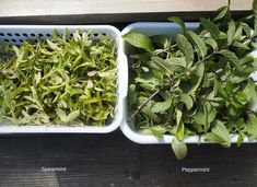 The past 2 years, I've had disastrous results dehydrating mint. Learn the changes I made to rectify the problem Mint Leaves Recipe, Drying Mint Leaves, Apple Mint, Mint Recipes, Dehydrated Food, Dehydrator Recipes, Drying Herbs, Edible Flowers