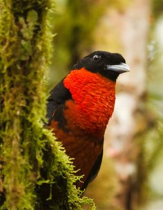 Red-ruffed Fruitcrow, La Suiza, Colombia | Flickr - Photo Sharing!