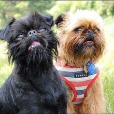 Brussels Griffon - black and brown, just like my babies