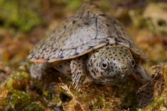 """Razor Backed Musk Turtle will remain under 6"""" and is an aquatic breed"""