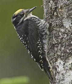 6211ae1169 American Three-toed Woodpecker Bark Beetle