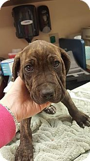 Fort Wayne, IN - Pit Bull Terrier/Hound (Unknown Type) Mix. Meet Homer, a puppy for adoption. http://www.adoptapet.com/pet/18192079-fort-wayne-indiana-pit-bull-terrier-mix