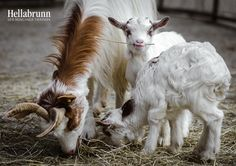 There has been a baby boom at Hellabrunn Zoo Munich…seriously, we aren't 'kidding'. Four Girgentana Goat kids were born there in the last two months! Check out ZooBorns to learn their names and read the rest of the story! http://www.zooborns.com/zooborns/2016/03/the-kids-are-alright-at-hellabrun-zoo-munich.html