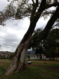北条氏居住跡に植わっている榎の木