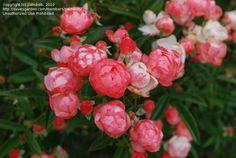 Margo Koster Polyantha Rose | ... : Polyantha, Polyantha Climbing Rose 'Margo Koster' (Rosa) by palmbob