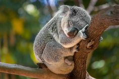 australian insects that live in eucalyptus - Google Search Australian Insects, Insurance Business, Bear, Illustration, Animals, Future, Google Search, Live, Koalas