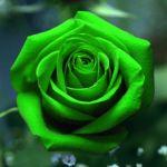 Hoa Hồng Xanh Đẹp Quyến Rũ Lòng Người