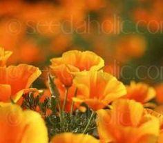 chrissdon company garden angel  | California poppy -Masses of beautiful silky flowers in various shades ...
