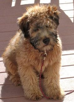 "pinner said, ""wheaten puppy. i will get one."" Can you get one for me too?"