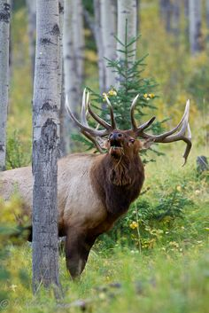 Gorgeous bull elk sniffing out the predator.