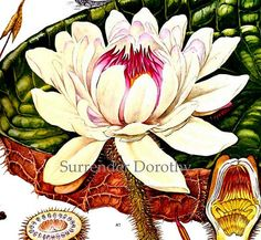 Royal Water Lily Victoria Amazonica Flower by SurrenderDorothy, $13.89