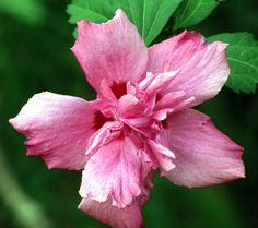 Rose Of Sharon from River Street Flowerland