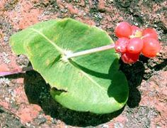 Native American Ethnobotany | moerman d 2003 native american ethnobotany database http herb umd ...