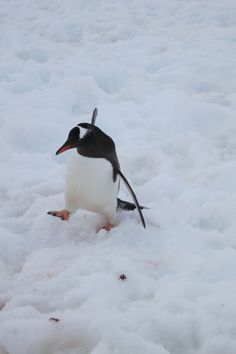 The @QuarkExpedition Penguin Shuffle: You put your right foot in, you put your right foot out (sing along with me)