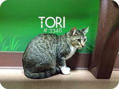 Alvin, TX - Domestic Shorthair. Meet Tori, a cat for adoption. http://www.adoptapet.com/pet/16356828-alvin-texas-cat