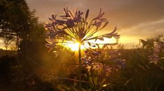 Check out Agapanthus dreams by Kloeksister on Creative Market
