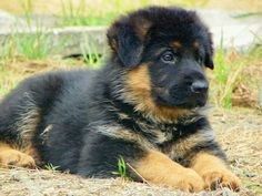 I just want all the chunky German Shepherd puppies.