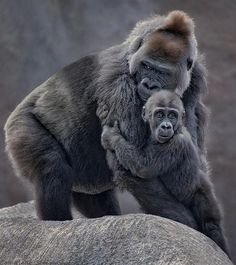Startled by a low flying hawk the young gorilla scurried to clutch at his mother as she scanned for the threat ~Cause for Concern by Frank Somma ~ Primates, Mammals, Amor Animal, Mundo Animal, Cute Baby Animals, Animals And Pets, Strange Animals, Beautiful Creatures, Animals Beautiful