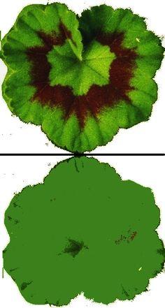 Feuille geranium recto verso Crepe Paper Flowers, Paper Roses, Diy Doll Miniatures, Paper Plants, Miniature Plants, Mini Plants, Flower Template, Little Flowers, Flower Tutorial