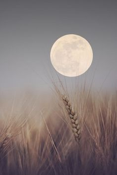 Love this pic! The moon over the wheat