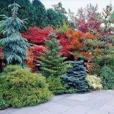 One sure way to highlight the fall colors in your yard is to pair them with evergreens. Engelmann spruce (Picea engelmannii), Korean fire (Abies koreana 'Horstmann Silberlocke'), and dwarf blue spruce (Picea pungens 'Corbet'), for example, looks smashing against bold reds and oranges. And bright yellows practically sing next to a dark green background.