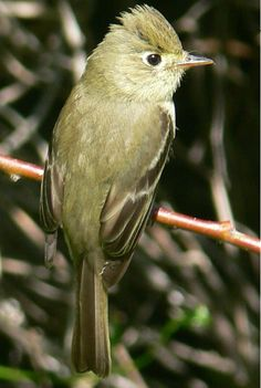 Pacific-Slope Flycatcher, native to the Pacific regions of western North America to southern Sea of Cortez, as far north as British Columbia & southern Alaska