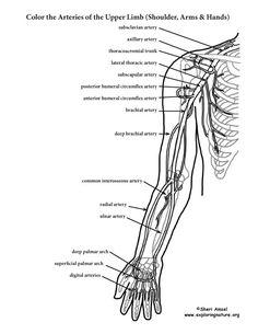 Arm Muscles Anatomy Coloring Pages | Dpt | Pinterest | Best Arm ...