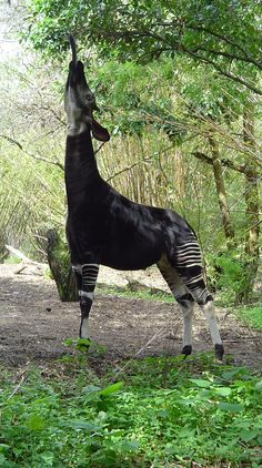 The okapi (pronounced /oʊˈkɑːpiː/), Okapia johnstoni, is a giraffid artiodactyl mammal native to the Ituri Rainforest, located in the northeast of the Democratic Republic of the Congo, in Central Africa. Although the okapi bears striped markings reminiscent of zebras, it is most closely related to the giraffe.