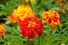 Чтобы получить яркий цветник, необязательно ждать несколько лет, пока цветы разрастутся. Есть немало растений, которые цветут спустя несколько месяцев. Они однолетники, но это их единственный недостат...