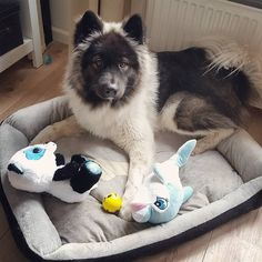 "45 Likes, 4 Comments - Akita x Samoyed Balou & Lisa (@lisalunatic) on Instagram: ""Very grateful with the toys I won at the fair for him..! #balouthebear #balou #dog #dogsofinstagram…"""