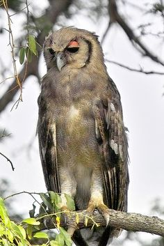 Verreaux's Eagle-owl, also known as the Milky Eagle-owl or Giant eagle-owl (Bubo lacteus)