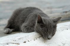 chartreuse cat   Chartreux Cat Breed   Information on Chartreux Cats