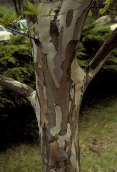 Here's another tree that has awesome bark: Stewatia pseudocamllia (Japanese Stewartia).