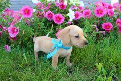 Darcy Miniature D Dachshund Labrador Puppies For Sale Miniature Dachshund