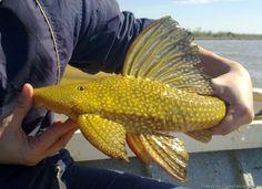 Hypostomus luteomaculatus Betta Fish Types, Types Of Fish, Tropical Aquarium, Tropical Fish, Planted Aquarium, Aquarium Fish, Pleco Fish, Plecostomus, Monster Fishing