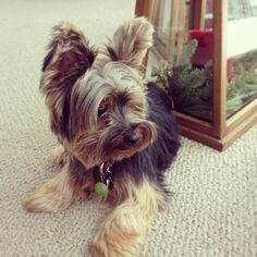 #yorkie #puppy #dog #cute #instagood