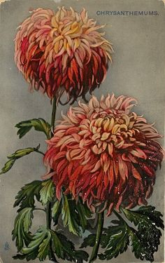 Two large, rusty-red chrysanthemums ~ 1910.