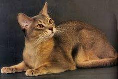 Résultats de recherche d'images pour « races de chats rares »
