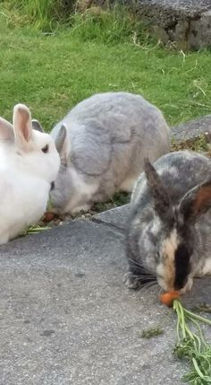 A gorgeous trip of bonded bunny rabbits #bunnylove