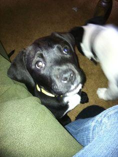 Omgosh!!  Looks just like Frankie as a puppy!! Cute!!