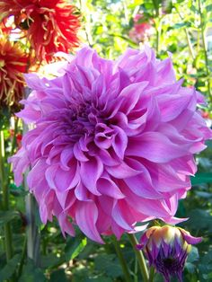 More bloom pictures - Dahlia Forum - GardenWeb
