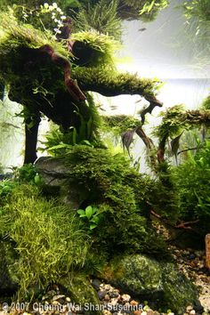 Dreamy aquarium with driftwood and live plants. Get driftwood for your aquarium here: http://www.driftwoodboss.com