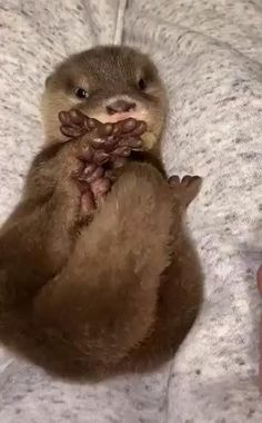 A tidy little package Baby Otters, Otters Cute, Baby Animals Pictures, Cute Animal Pictures, Animals And Pets, Wild Animals, Cute Little Animals, Cute Funny Animals, Cute Cows
