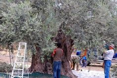 Harvesting Olives in Germasogeia